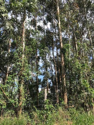Bosque de eucalipto vendo - Foto 6