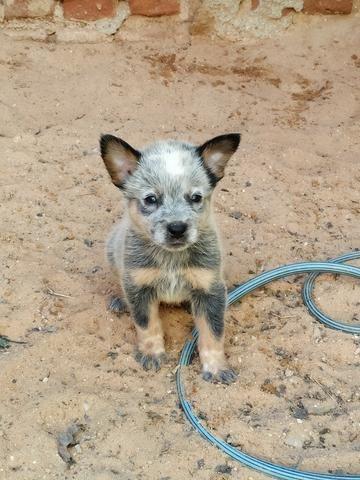 Filhote de Boiadeiro Australiano (Blue Heeler) - Foto 4