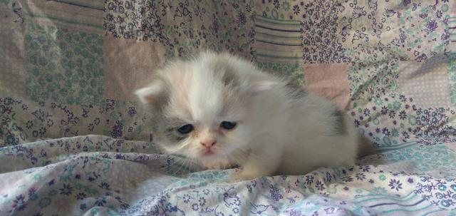 Filhotes Gato Persa - Foto 4
