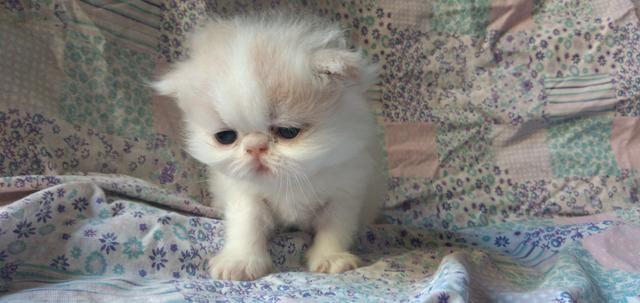 Filhotes Gato Persa - Foto 2