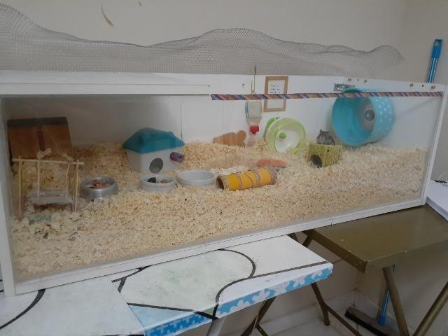 Hamster russo anão machos com aquario lindo - Foto 6