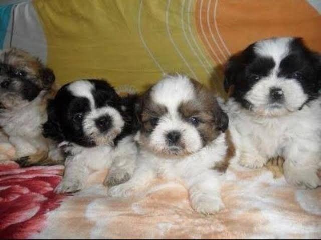 Lindos shipoo Shitzu x poodle so 300 cada . Entrego  - Foto 4