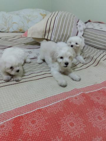 Animais de estimação(cachorro) da raça poodle