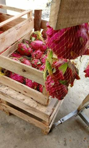 Pitaya poupa Vermelha e poupa Branca - Foto 2