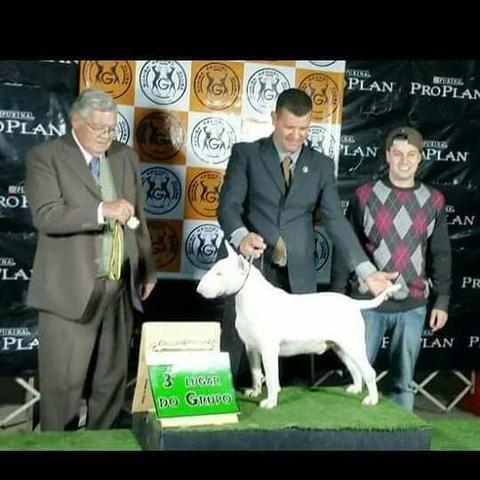Bull Terrier [kennel Mafia do Bull - Foto 2