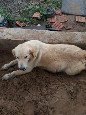 Cachorra Golden