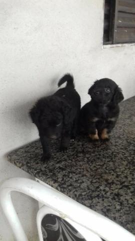 Filhote cachorro poodle + chow chow - Foto 2