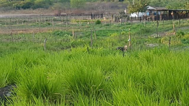 Sítio Irrigado Próximo ao Centro de Jequié com 40.000 m2 - Foto 7