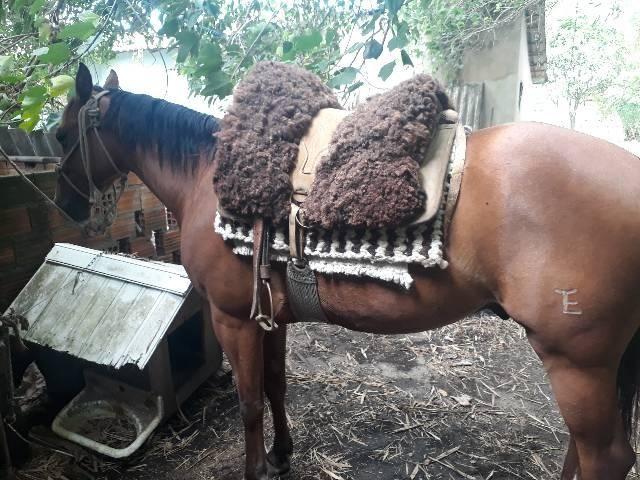 Cavalo quarto de milha PO com documentos