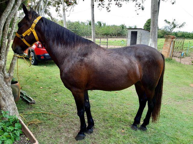Cavalo Meio Sangue - Foto 6
