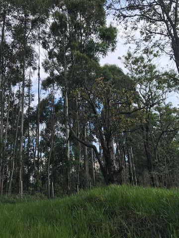 Bosque de eucalipto vendo - Foto 2