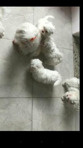 Maltês micro $ 500.00 filhotes adoráveis