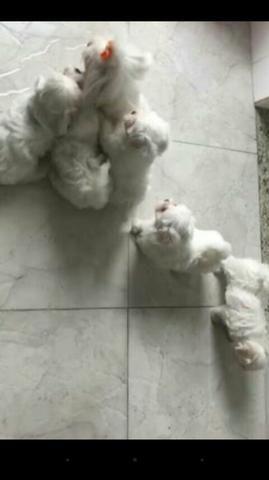 Maltês micro $ 500.00 filhotes adoráveis - Foto 4