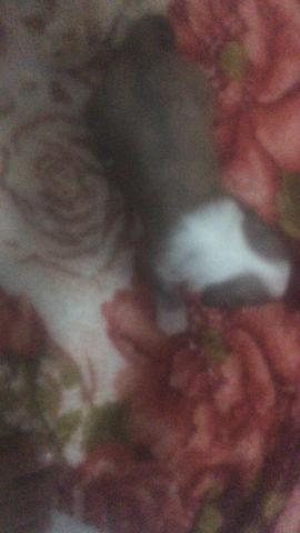 Animais de estimação(cachorro) da raça poodle - Foto 2