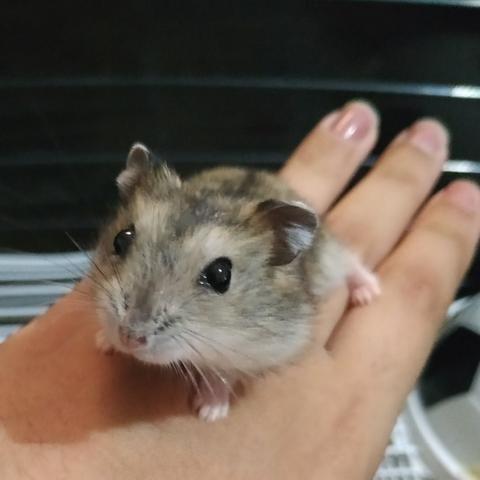 Filhote de Hamster Anão Russo - Foto 3