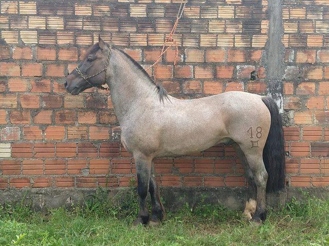 Cavalo crioulo top de laço - Foto 4