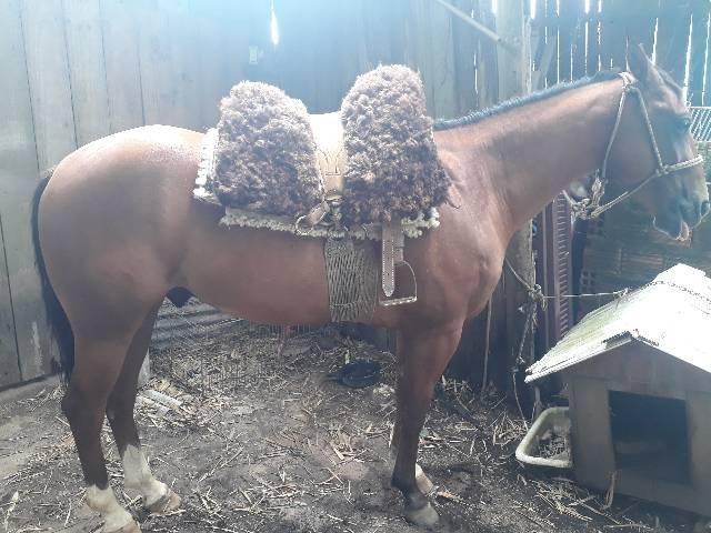 Cavalo quarto de milha PO com documentos  - Foto 4