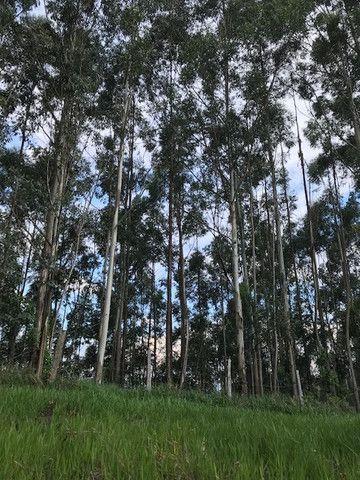 Bosque de eucalipto vendo
