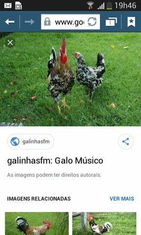 Galo musico brasileiro