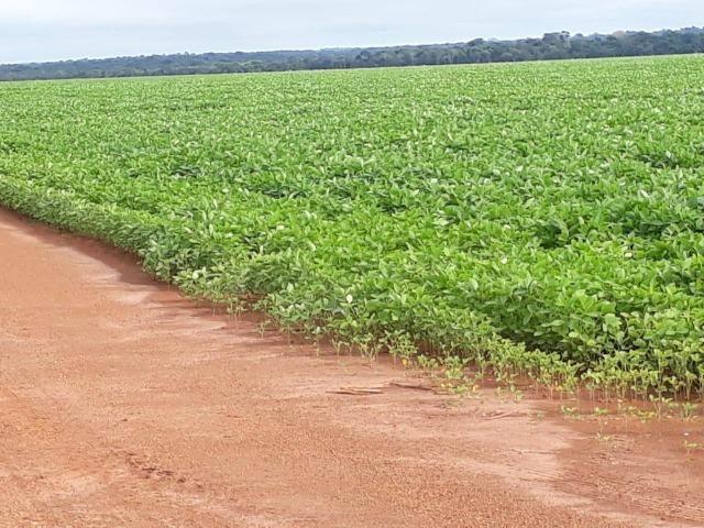 Fazenda 1100 Ha - Sorriso - lavoura
