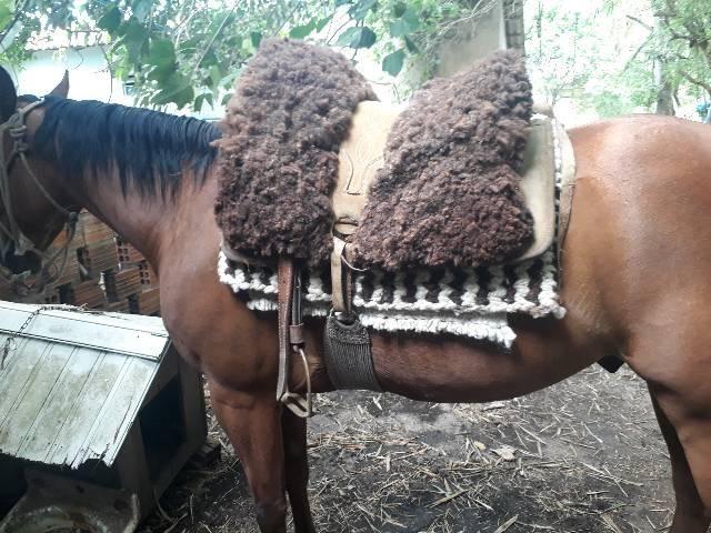 Cavalo quarto de milha PO com documentos  - Foto 3