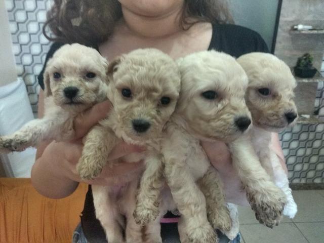 Vendo filhotes de poodle - Foto 2