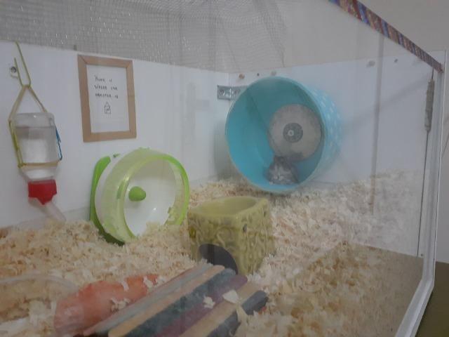 Hamster russo anão machos com aquario lindo - Foto 5