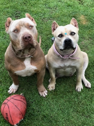 Filhotes de pitbull com pedigree