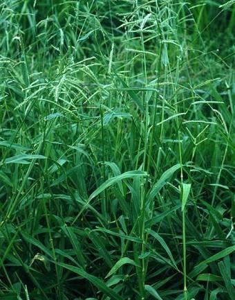 Sementes de capim Buffel Grass e Uruchloa - Foto 2