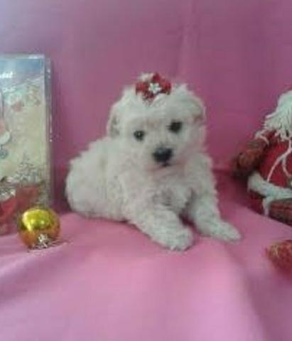 Poodle Toy legitima