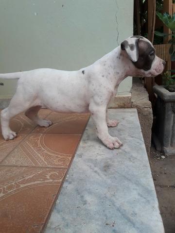 Filhotes de pitbul, pit bull com pedigree - Foto 3