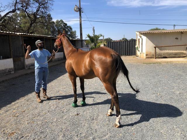 Cavalo Quarto de Milh