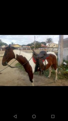 Vendo cavalo pampo e piquira - Foto 6