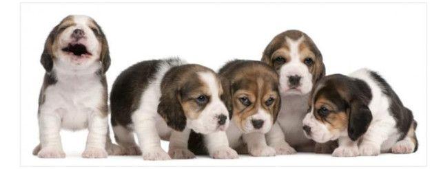 Beagle femea tricolor venha conferir, são lindíssimas!