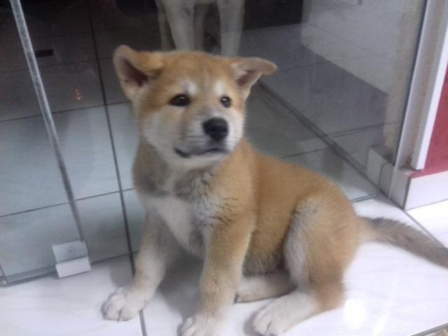 RosanaAraras Cachorros Inu Akita 612705706Olx Jardim BxrCedo