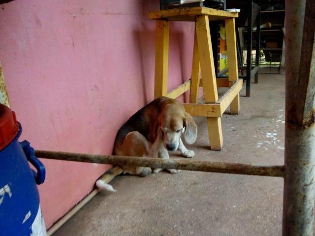 Vende -se casal de Beagle com pedigree - Foto 2