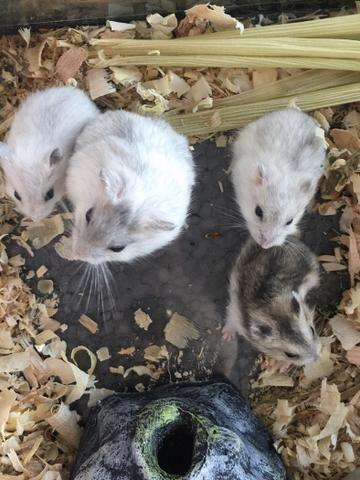 Hamster - Foto 2