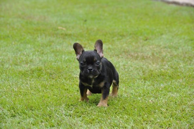 Exóticos e cores padrão da raça Bulldog francês - Macho black And Tan Top - Foto 3