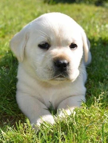 Labrador Lindos filhotes a pronta entrega, 15 anos de trabalho (11)9.6842.5101