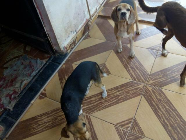 Vende -se casal de Beagle com pedigree - Foto 4