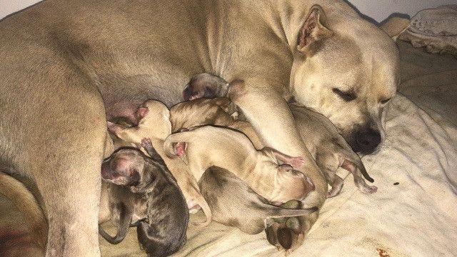 Filhotes de pitbull com pedigree - Foto 6