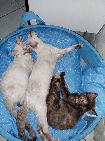 Gatinhos e gatinhas para adoção responsável  - Foto 4