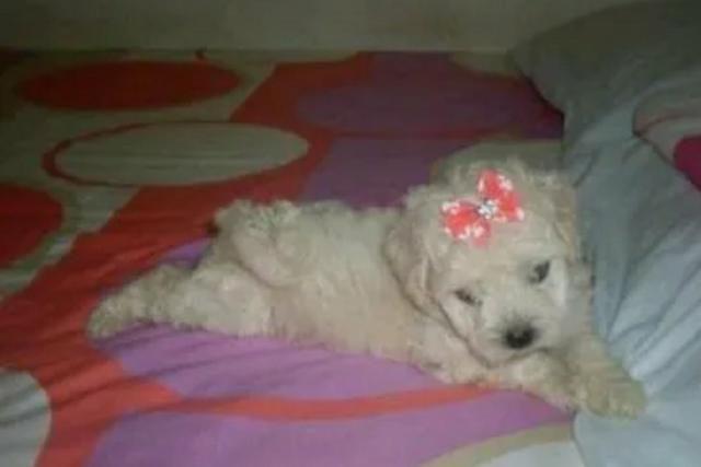 Poodle Toy legitima - Foto 3