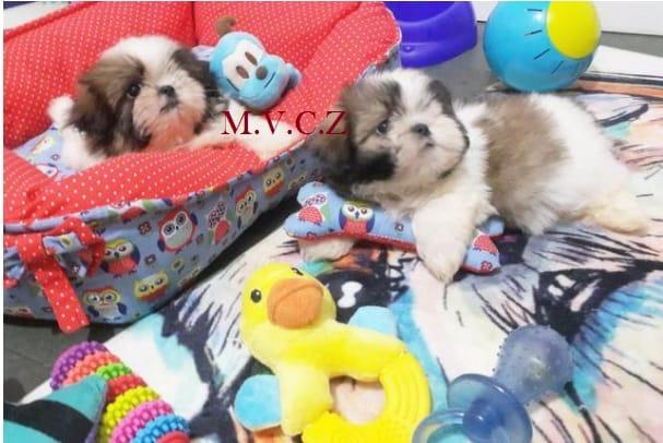 Shih Tzu Mini Filhote com Pedigre e Garantia de Saúde - Foto 6