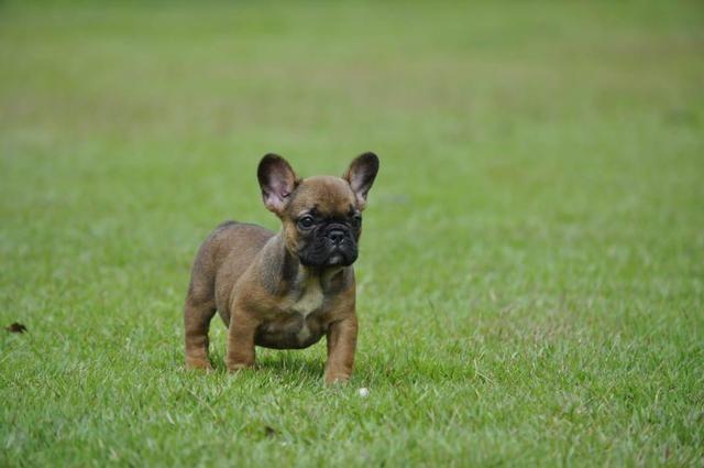 Bulldog francês filhotes em canil com qualidade e estrutura - Foto 5
