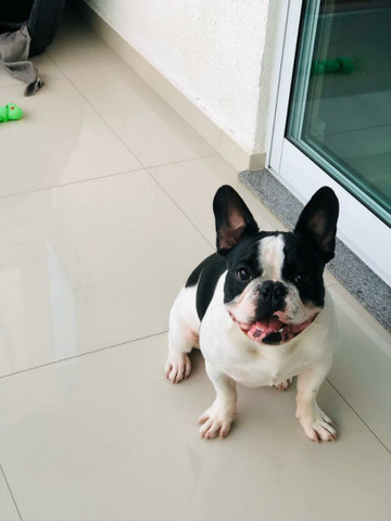 Bulldog Francês 2 Anos para Cruza - Foto 4