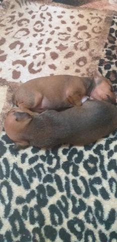 Pinther(cachorro)300 reais - Foto 3