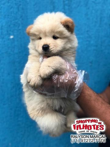 Chow-Chow creme/laranja/preto, com garantias totais! com pedigree, vacina e vermifugo - Foto 2