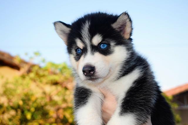 Vendo filhote de Husky Siberiano com pedigree