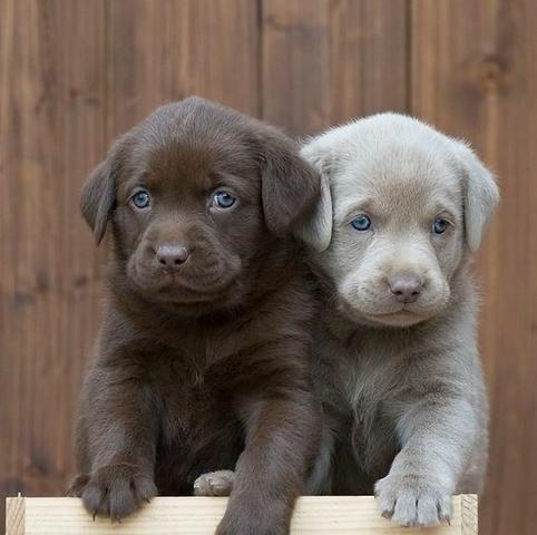 Labrador Lindos filhotes a pronta entrega, 15 anos de trabalho (11)9.6842.5101 - Foto 2